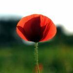 Idee per la Liberazione. Un fiore.